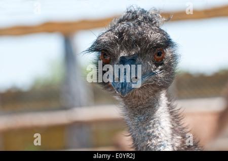 Porträt von einem Emu in einem Zoo - Stockfoto