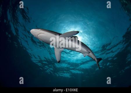 Seidige Hai, Sudan (Carcharhinus Falciformis) - Stockfoto