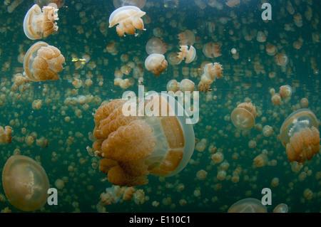 Goldene Qualle nahe der Oberfläche im Jellyfish Lake Palau (Mastigias) - Stockfoto