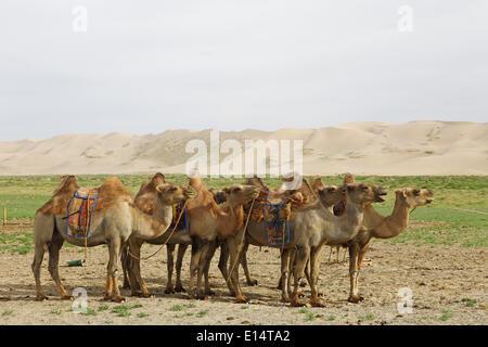 Herde von Bactrian Kamele (Camelus Ferus) mit mongolischen Sättel vor den Sanddünen von Khongoryn Els - Stockfoto