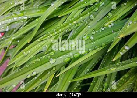 Funkelnde Perlen des Wassers auf den Blättern einer Pflanze nach einer Dusche - Stockfoto