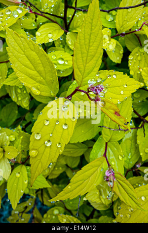 Funkelnde Perlen des Wassers auf die Blätter der Spirea Strauch nach einer Dusche - Stockfoto