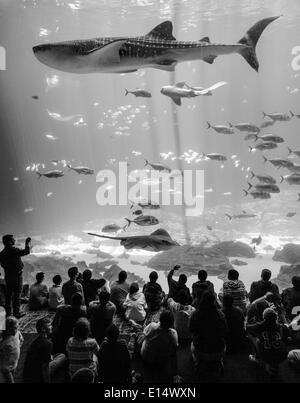 Besucher vor einem riesigen Aquarium Fenster mit Mantarochen (Manta SP.) und einen Walhai (Rhincodon Typus), Georgia - Stockfoto