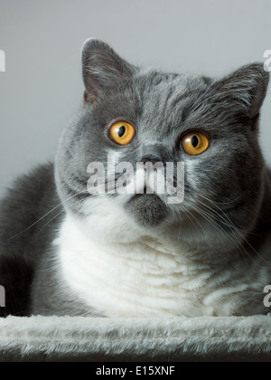 British Kurzhaar-Katze, sitzend - Stockfoto