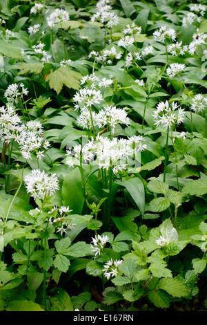 Ramsones oder Knoblauch-Wildpflanzen (Allium Ursinum) im Frühjahr, UK - Stockfoto