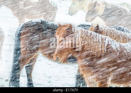 Islandpferde außerhalb während eines Schneesturms Winter, Island - Stockfoto