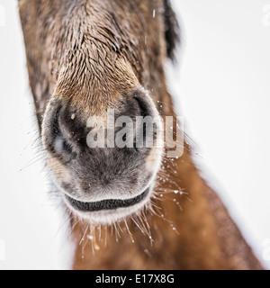 Nassen Islandpferd außerhalb in einem Schneesturm, Island - Stockfoto