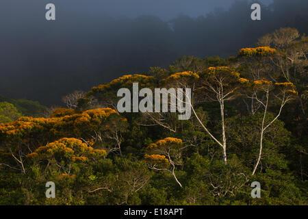 Mai Blütenbäumen in Altos de Campana Nationalpark, Republik von Panama. Diese jährliche Veranstaltung findet normalerweise im Mai statt.