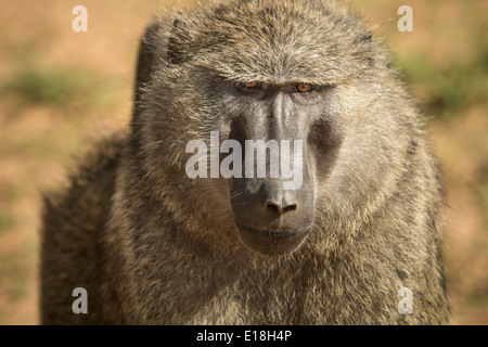 Pavian in Murchison Falls National Park, Uganda, Ostafrika. - Stockfoto