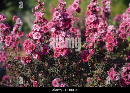 Leptospermum scoparium oder Manuka Myrte in Blüte, die gemeinhin als Neuseeland teatree, in Australien und Neuseeland - Stockfoto