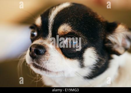 Chihuahua Hund, 1,5 Jahre alt, sitzt auf einem Tierbett und Blick in die Kamera - Stockfoto