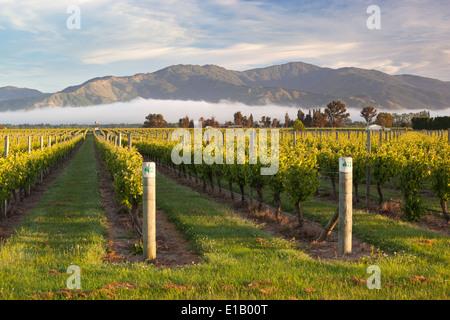 Weinberge im Morgennebel, Renwick, in der Nähe von Blenheim, Marlborough Region, Südinsel, Neuseeland, Südpazifik - Stockfoto