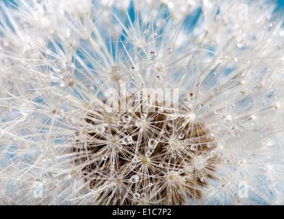 Extreme Makro einer Löwenzahn Blume mit Tau fällt - Stockfoto