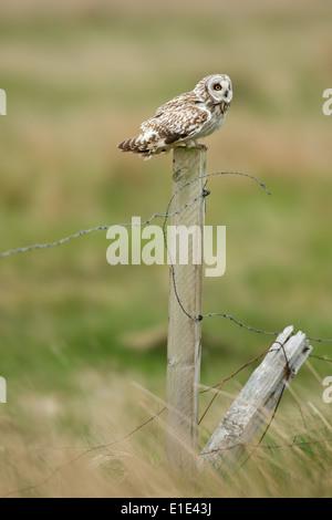 Sumpfohreule (Asio Flammeus) thront auf einem Zaunpfahl in das Moorland Lebensraum. North Uist, äußeren Hebriden, - Stockfoto