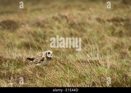 Sumpfohreule (Asio Flammeus) in seinem Lebensraum Moor. North Uist, äußeren Hebriden, Schottland. UK - Stockfoto