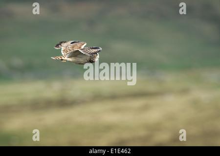 Short-eared Eule Asio Flammeus Jagd. North Uist, äußeren Hebriden, Schottland - Stockfoto