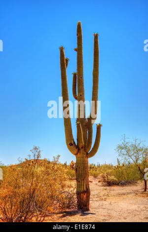 Saguaro Kaktus Cereus Giganteus in der Wüste von Arizona - Stockfoto