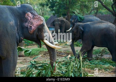 Indien, Kerala state, Guruvayur, Elefant-Center, Training für die Tempel-parade - Stockfoto