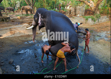 Indien, Kerala state, Guruvayur, Elefant-Center, Training für die Tempel-parade - Stockfoto