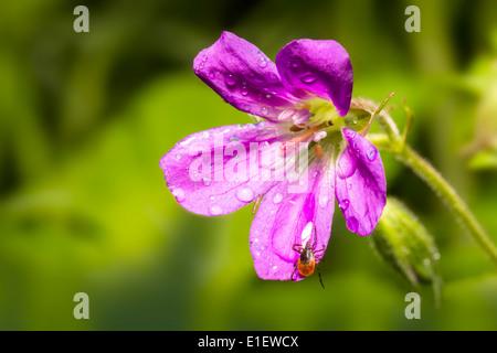 Die Rizinuspflanze Zecke (Ixodes Ricinus) - Stockfoto