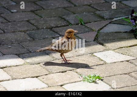 Junge Amsel im Garten. - Stockfoto