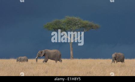 Drei afrikanische Elefanten (Loxodonta Africana), Mara Dreieck, Masai Mara National Reserve, Narok, Kenia, Afrika - Stockfoto