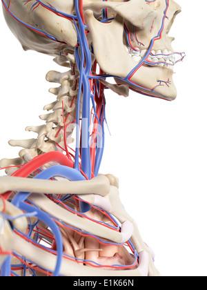 Menschlichen Hals Blutgefäße Computer Artwork Stockfoto, Bild ...
