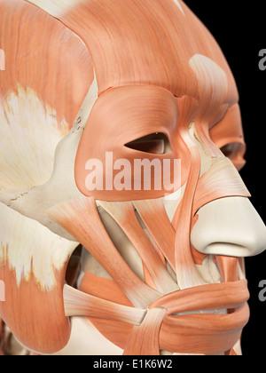 Menschliche Auge extraokularen Muskeln Stockfoto, Bild: 136587240 ...