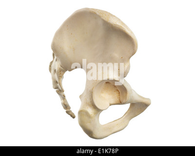 Menschlichen Ilium und Sacrum Knochen Computer Artwork Stockfoto ...