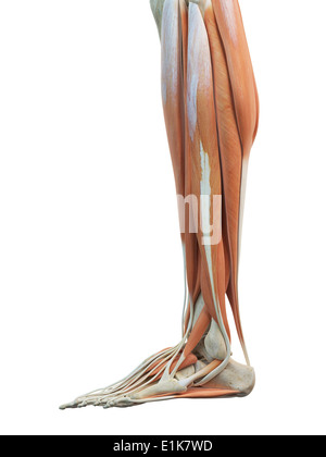 Menschliches Bein und Fuß Muskeln Computer Artwork Stockfoto, Bild ...
