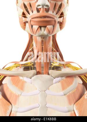 Hals-Muskeln und Nerven-Computer-Artwork Stockfoto, Bild: 69879838 ...