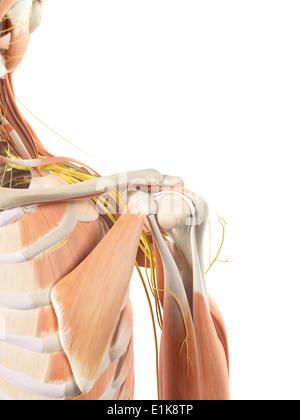 Menschlichen Schulter-Muskeln und Nerven-Computer-Kunstwerk ...