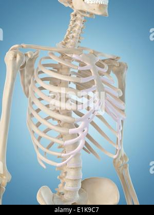 Menschliches Skelett-Struktur Computer Artwork Stockfoto, Bild ...