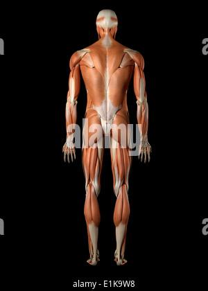 Menschlichen Muskel-Skelett-Systems Computer Artwork Stockfoto, Bild ...