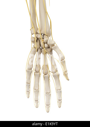 Die Nerven der hand Stockfoto, Bild: 13195425 - Alamy