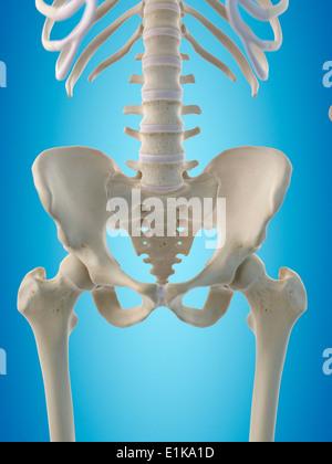Menschliche Hüftknochen Computer Artwork Stockfoto, Bild: 69881132 ...
