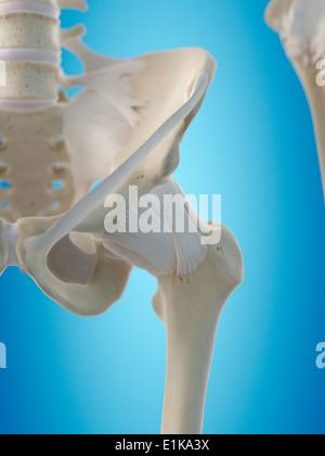Menschlichen hip sehnen Computer Artwork Stockfoto, Bild: 69881185 ...