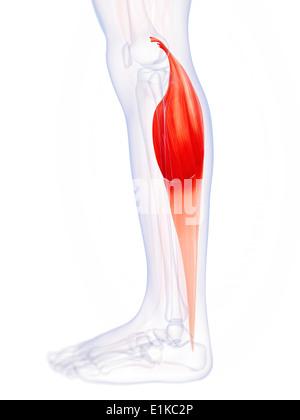 Menschlichen Kalb Muskel (Gastrocnemius) Computer Artwork Stockfoto ...
