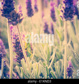 Praying Mantis Insekt sitzt auf einem Lavendel-Busch in einem Garten - Stockfoto