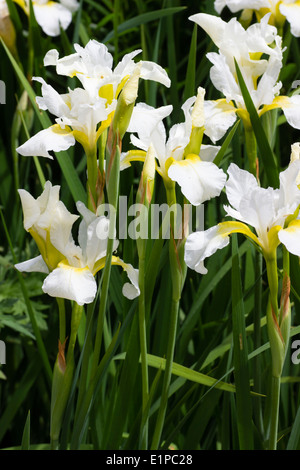 Weißen und gelben Blüten der Sibirischen Schwertlilie, Iris Sibirica 'White Swirl' - Stockfoto