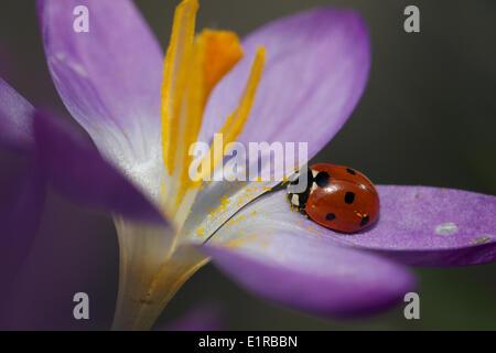 7-Punkt Marienkäfer (Coccinella Septempunctata) auf ein Tomasisni Krokus - Stockfoto