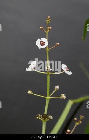 Die Blume der Pfeilspitze - Stockfoto