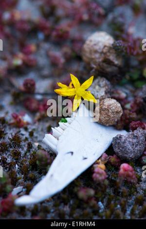 Kaninchen-Kieferknochen und beißen Fetthenne Blüte; - Stockfoto