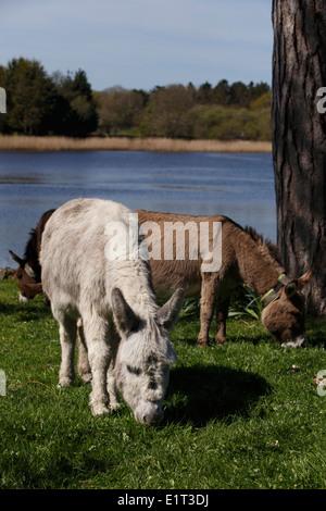 New Forest, Beaulieu Dorf. Esel Weiden am Dorfplatz. Hampshire, UK. - Stockfoto