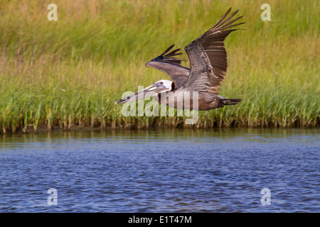 Der braune Pelikan (Pelecanus Occidentalis) fliegen - Stockfoto