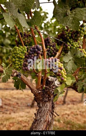 Merlot-Trauben in der Prozess-Veraison, während die Trauben beginnen zu Reifen, wachsen in Größe Gewicht, Zucker - Stockfoto