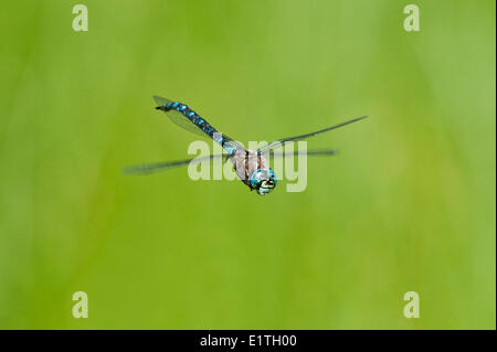 Variable Darner, Aeshna Interrupta bei Bowser Moor, Bowser BC - Stockfoto