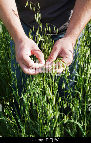 Die Hände des Landwirts kontrollierenden Hafer ernten. - Stockfoto