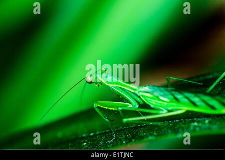 (Hierodula Stalii), Mantis, Costa Rica - Stockfoto