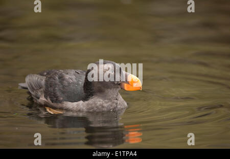 Getuftete Puffin, Fratercula Cirrhata, Oregon, USA - Stockfoto